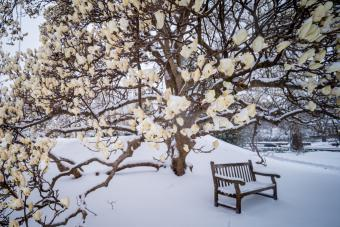 Magnolia tree and empty bench in snow